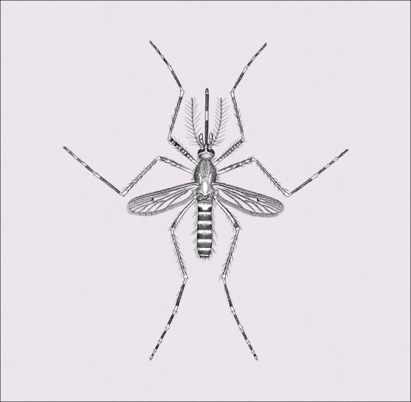 Mosquito 600px